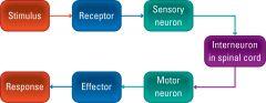 Stimulus, receptor, sensory neuron, interneuron in spinal cord, motor neuron, effector, response
