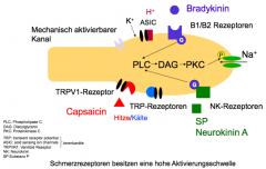 Transduktion: Übersetzung des Reizes in eine Membranpotentialänderung. Gewebeschädigung, Inhalt der Zellen wird freigesetzt (K), extrazelluläres K führt dann zu einer Depolarisation der Zelle ASIC: öffnen wenn sie Protonen binden Mechanisch ...