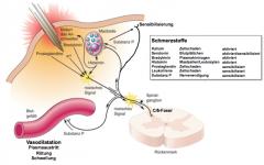 Kaputte Haut: Aktivierung von Mastzellen, beschädigte Zellen aktivieren Prostaglandine, welche zur Sensibilisierung der freien Endigung beitragen, Schmerzrez. haben kollaterale welche auch erregt werden, ein AP kann an einer freien Nervenendigung...