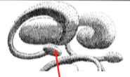 The head (inferolateral border of AH), body and tail - c-shaped which bends and tapers around the thalamus (ends in the amygdala near the hippocampus [red arrow]).