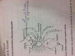 Prosoma formado por un escudo dorsal bien esclerotizado, en el que se observa un surco en forma de V denominado fóvea. Tienen hasta 8 ojos simples. Ventralmente aparece una única placa esternal, el esterno rodeado por coxas de los pedipalpos y d...