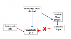 1) The rostral cell of the supieror colliculus are active and inhibite the caudal cells because we don't want random movement      2) The substantia nigra is also inhibit caudal cells      3) When need to initiate, a single xcitatory i...