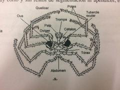 Artrópodos con el cuerpo constituido por tres tagmas. CEFALÓN, PROSOMA OPISTOSOMA.