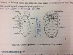 Arañas de patas largas, cuerpo compacto mas o menos elíptico en el que no es posible diferenciar el prosoma del opistoma. En el centro del cuerpo presenta un par de ojos pedunculados sobre el prostoma. Los quelíceros son delgados, pequeños y q...
