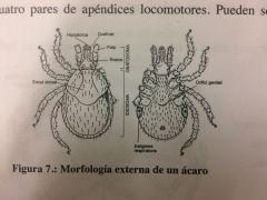 Quelicerados de muy pequeño tamaño. Aparente ausencia de división en el cuerpo. Estructura tubular anterior denominada capítulo en la que se integran los quelíceros y los pedipalpos a demas estan muy modificados dependiendo del la alimentaci