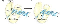 1. Palm - ביצוע הפעולה הקטליטית על ישי שימוש בשתי יוני מגנזיום. 2.Thumb - אחיזה של התבנית והגדיל החדשים על מנת שהקשרי מימן שלהם לא יתפרקו בעקבות...