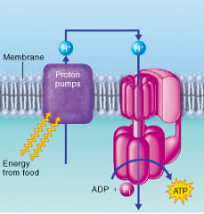 "Which of the following molecules is most directly involved in the transfer of ""energy from food"" to the ""proton pumps"" depicted in this figure? A. NADH B. ATP C. ADP D. carbon dioxide E. oxygen"