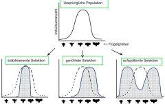 gerichtet: ein Typus wird bevorzugt disruptiv: zwei entgegengesetzten Typen werden bevorzugt, es kann zur Aufspaltung in zwei Arten kommen stabilisierend: mittlere Phänotypen werden bevorzugt, die Variation nimmt ab