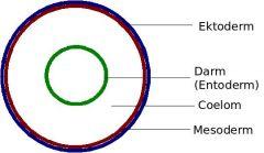 sekundäre Leibeshöhle  Flüssigkeitsgefüllter Hohlraum zwischen Ektoderm und Entoderm, der vollständig von mesodermalem Gewebe umgeben is