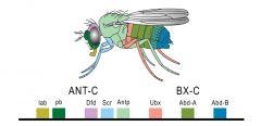 Homöotische Gene: Segentspezifische Gene Enthalten ca. 180 Basenpaare langen Abschnitt, die Homöobox, diese bindet an regulatorische Bereiche anderer Gene, die die passende Erkennungssequenz enthalten und aktiviert oder reprimiert deren Express...