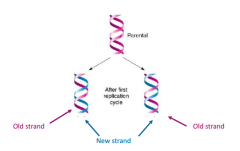 That because two strands in DNA are complementary to each other, each could serve as a template for a new strand. They proposed that strands separate and the new strands are built off of these.