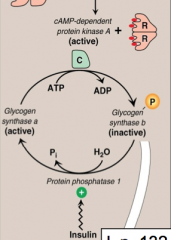Glucagon and epinephrine to specific GPCR results in synthesis of cAMP which activates cAMP dependent PROTEIN KINASE A. Protein kinase A (PKA) phosphorylates glycogen synthase (B) rendering it inactive (glycogen synthesis is inhibited).  High Insulin lev