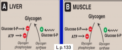What is the allosteric regulation of glycogen synthesis and degradation in muscle and liver?