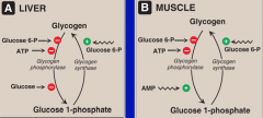 In both liver and muscle: --Glucose synthase is (+) activated by Glucose 6-P  --Glucose phoshporylase is (-) by Glucose 6-P and ATP   In Liver: Glucose inhibits glycogen phosphorylase   In Muscle:  AMP stimulates glucose phosphorylase