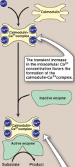 Ca+ is released into the cytoplasm by muscle during contraction or in liver by epinephrine. Ca binds to calmodulin, which allows 4 Ca2+ ions to bind. This triggers a conformation change to activate Ca2+-calmodulin.  Calmodulin can then activate various p