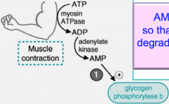 Muscle during extreme conditions, AMP increases which binds and allosterically activates glycogen phosphorylase b, without it being phosphorylated.  Remember that AMP also activates PFK-1 so that glycolysis can begin.