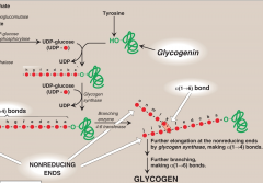 It is a self-glycosylating enzyme  It is responsible for making the α1→4 linkages in glycogen. It cannot synthesize free glucose but can only elongate existing chains of glucose.  - A fragment of glycogen whose store are not totally depleted serves as a