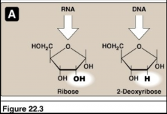 • Ribose (RNA) and deoxyribose (DNA) are components of nucleic acids • The pentose sugar is linked to the purine or pyrimidine base by a β-N-glycosidic linkage to form a nucleoside • Pentose sugar + purine or pyrimidine base + phosphate = Nucleotide