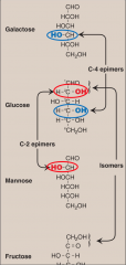• Glucose and galactose are C-4 epimers • Glucose and mannose are C-2 epimers • But galactose and mannose are not epimers of each other! Enzymes that interconvert epimers are known as epimerases (galactose metabolism)
