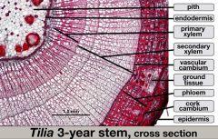 D: Eukarya S.G. Archaeplastida K: Plantae P: Anthophyta Org: Tilia  see side 2 for structures