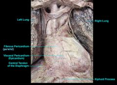 The heart and the pericardium lie in the mediastinum  – the central compartment of the thoraxbounded by the pleura.