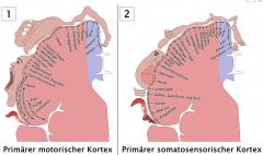 rot: A. cerebri media blau: A. cerebri anterior