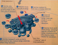 Anorganellein eukaryotic cells consisting of stacks of membranous sacs that modify, store, and ship products of the endoplasmic reticulum (ER).         The golgi apparatus serves as a molecular warehouse and processing station for pr...