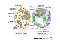 A membrane enclosed sac that is part of the endomembrane system of a eukaryotic cell and has diverse functions in different kinds of cells'      e.gFood vacoules form when a cell ingests food. A plant cell has a largecentral vacoulewhi...