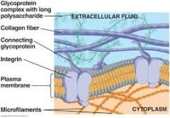 Theintegrinare membrane proteins that interconnects the ECM and the cytoskeleton in animal cells.      Integrins have the function of integration: they transmit signals between the ECM and the cytoskeleton. Thus, the cytoskeleton can inf...
