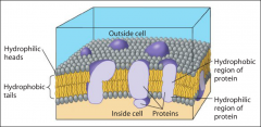 The cells surface. Theplasma membraneforms a flexible boundary between the living cell and its surroundings.      Consists of aphospholipid bilayerwith embedded proteins.
