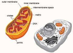 within the mitochondria, contains mitochondrial DNA and ribosomes, as well as enzymes that catalyze some of the reactions of cellular respiration.