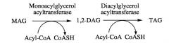 Monoacylgycerol pathway