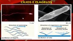 Encontrados em pouco número (1, 2, 3) -> Flagelo (Locomoção ou Transporte Celular) -> Cílio (Transporte de Impurezas através do Sistema Respiratório, por exemplo)