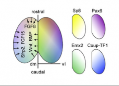 Cortical Hem = Wnts/BMP Antihem = Sfrp2, Fgf7, Tfgα Anterior Neural Ridge = Fgf8, Fgf17, Fgf18     → downstream gradients of Pax6, CoupTF1, Emx2, Sp8 (clockwise). No sharp boundaries except maybe V1.    Increased Fgf8 → increased rostral. Cou...