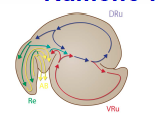 Rumeno-reticular contractions - primary contraction (A-wave or back ward moving or mixing cycle) steps...