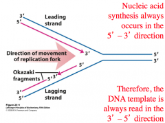 What direction does DNA synthesis occur in? What direction is DNA read in?