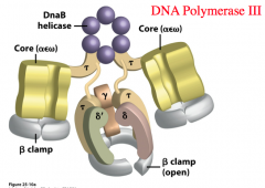 Structure of DNA Polymerase III