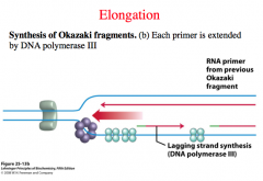 what happens after the RNA primer is laid down?
