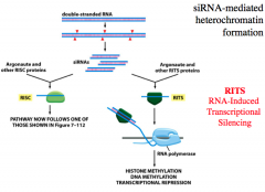 difference between miRNA and siRNA