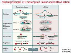 shared principles of Transcription Factors and miRNA action
