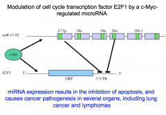 miRNAs as Oncogenes and Tumor Suppressors