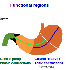 Gastric pump - phasic contractions    Gastric reservoir - tonic contractions