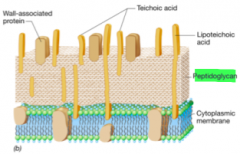 Peptidoglycan only Thick cell wall