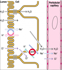 What does this show about Na/K ATPase in the proximal tubule cell?