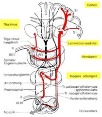 - Aufsplittung im Rückenmark: -- Moto-/Interneuron -> Reflektorische Impulse -- Aufstieg zu Hinterstrang-Kernen in Med. Ob. Im lemniscalen System: -- 2. Neuron wechselt Seite (vor Thalamus)