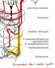 - Informationsvermittlung von Schmerz- und Temperaturreizen - schwach myelinisierte Fasern - kreuzen beim Eintrittssegment oder 1-2 Segmente höher auf Gegenseite - Vorderstrang: posteriorer/ventrobasaler Thalamus -> Somatosensorischer Kortex: Ex...