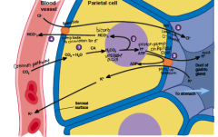 How does a parietal cell secrete acid?