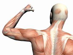 Kroppen har 450 muskler.