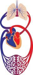 Blodets fire hovedkomponenter er: Lungerne, hjertet, blodet og blodkarnettet.