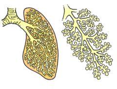 Ens lunger består af ca. 300 millioner alveoler.